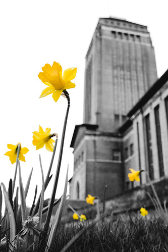 Daffodils at the University Library