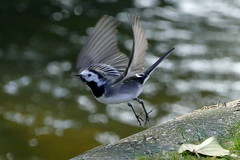 Female Pied Wagtail in flight
