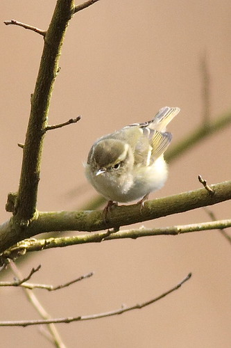 """Yellow-browed Warbler, Saltash, 04.03.16 (C.Buckland) • <a style=""""font-size:0.8em;"""" href=""""http://www.flickr.com/photos/30837261@N07/25525477082/"""" target=""""_blank"""">View on Flickr</a>"""
