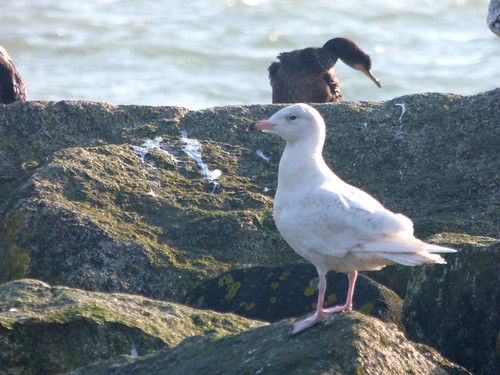 """Glaucous Gull, Newlyn harbour, 28.02.16 (D.Flumm) • <a style=""""font-size:0.8em;"""" href=""""http://www.flickr.com/photos/30837261@N07/25286062202/"""" target=""""_blank"""">View on Flickr</a>"""