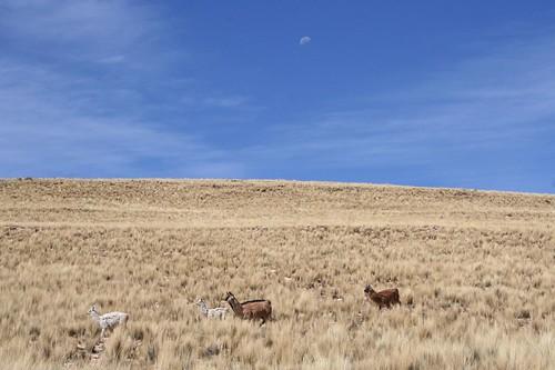 Llamas or alapacas?