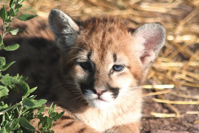 Babies R Us Canada Baby Mountain Lion Flickr Photo Sharing