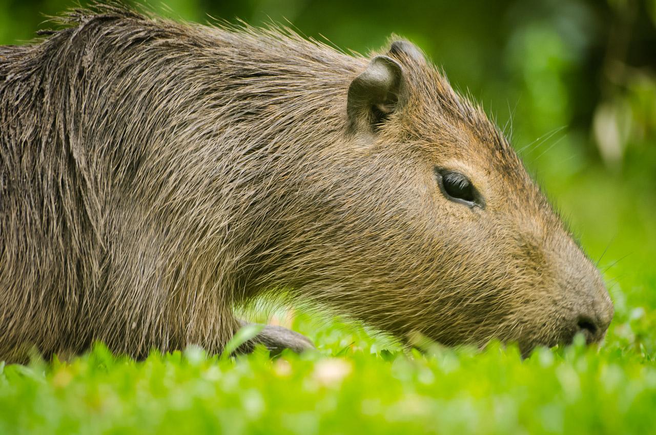 Un Capibara (Karpincho) pasta ante la vista de los turistas sin inmutarse por la presencia de personas alrededor. En el Parque Nacional Santa Teresa, en Rocha. (Elton Núñez)