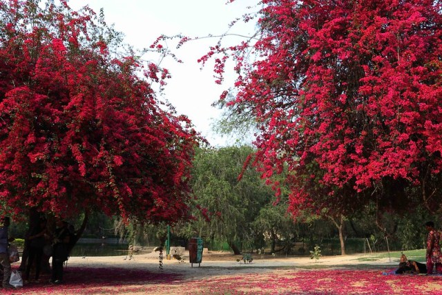 City Nature - The Two Bougainvillea Trees, Lodhi Gardens