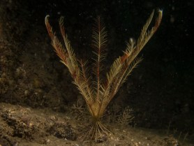 Celtic Feather Star (Leptometra celtica)