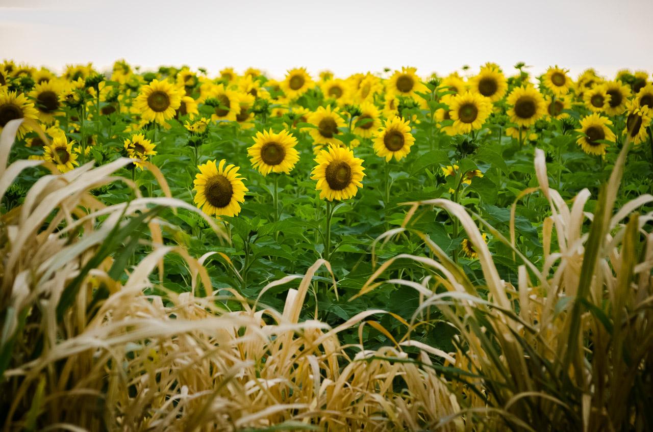 Plantaciones de girasol son vistas en los campos del departamento de Itapúa, en el camino hacia Encarnación por la ruta 1, en el desvío a Fram, el paisaje está lleno de preciosos cultivos del herbáceo. (Elton Núñez)