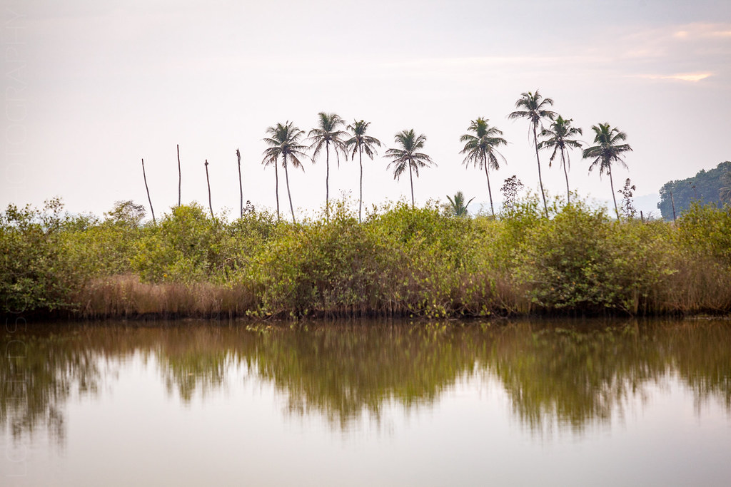 Coconut trees at Divar
