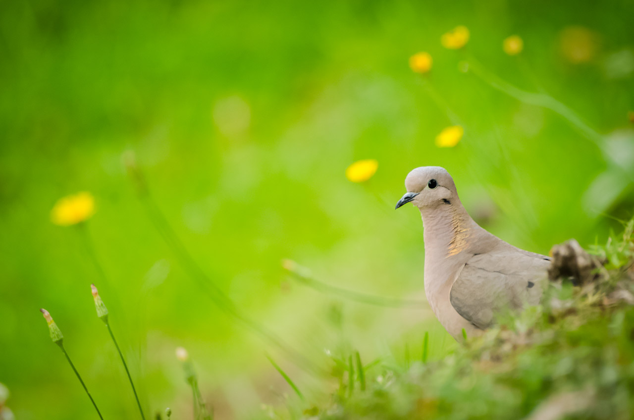 Una paloma silvestre se pasea por el jardín del Parque Nacional Santa Teresa, en el Departamento de Rocha. (Elton Núñez)