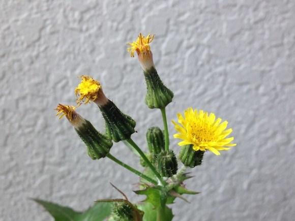 デカ草の花と蕾20160323