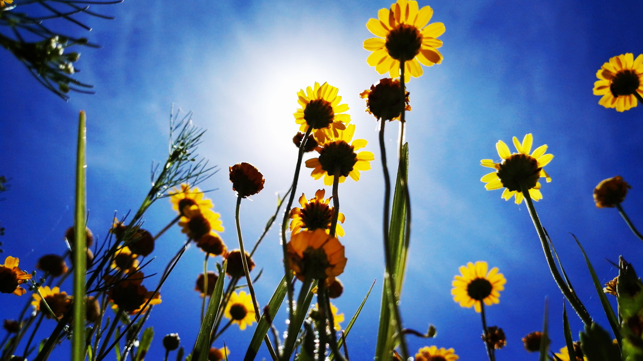 Flores silvestres son vistas en el jardín de la terminal de Cabo Polonio, a 90 kilómetros de Punta del Diablo. (Fotografía tomada con un smartphone Huawei P8, Elton Núñez)