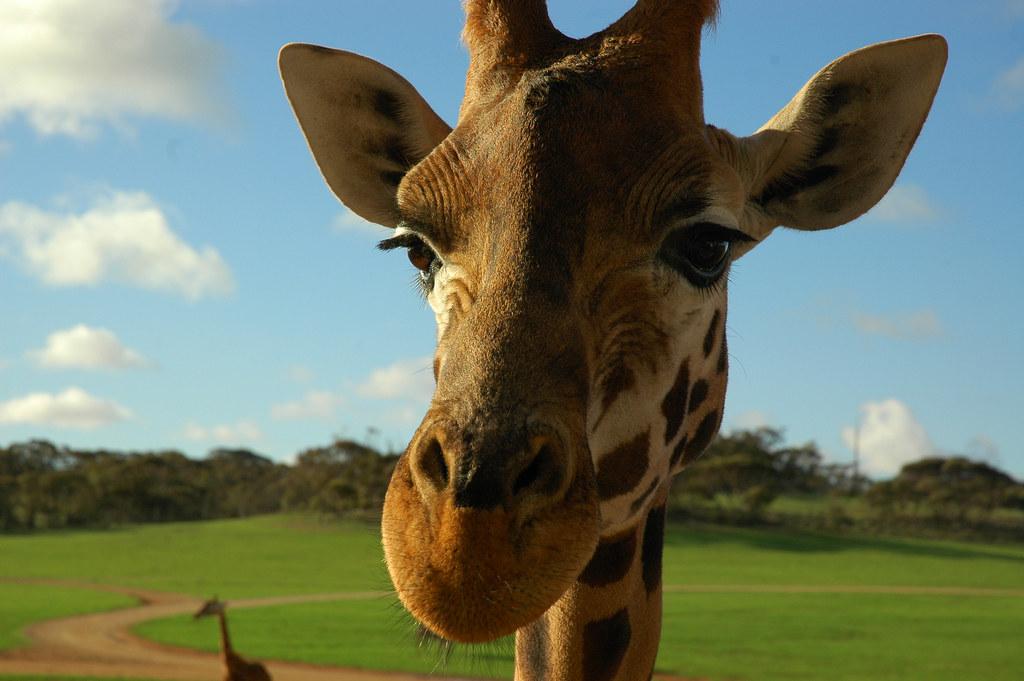 Imagen gratis de una girafa