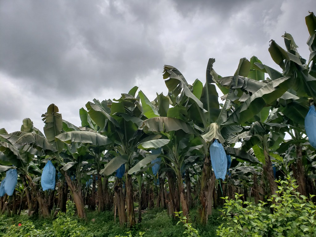 Black Wallpaper Banana Farm In Costa Rica They Apply Fungicide Sprays