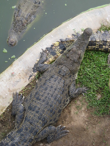 fat croc
