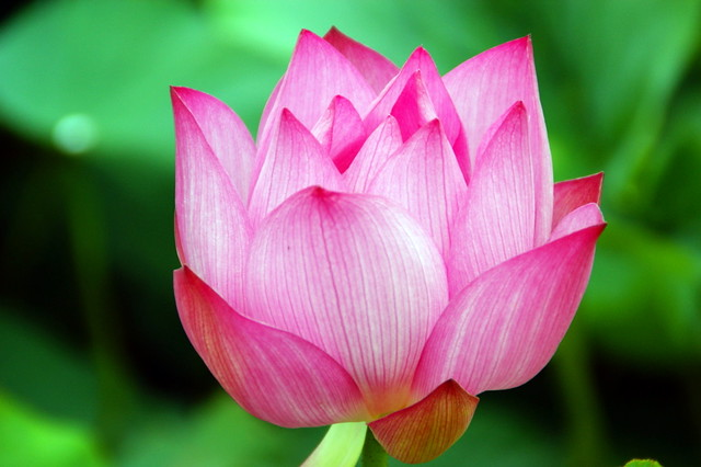 Buddha 3d Wallpaper Hd Beautiful Pictures Of Lotus Flowers