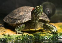Turtle Basking Time   Even though the red eared slider ...