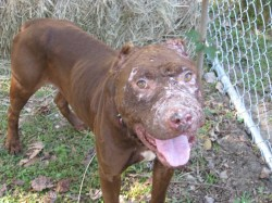 High How Can You Tell If Dog Was Used What Is A Bait Dog Pit Bull Pitbulls Go What Is A Bait Dog Used Pitbulls Go Pitbulldog Forums How Can You Tell If Dog Was Used