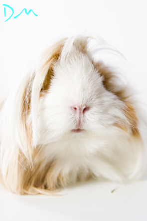 guinea pig photo shoot 05