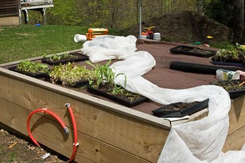 Humble Garden: transplants