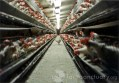 A lone hen escapes the battery cages