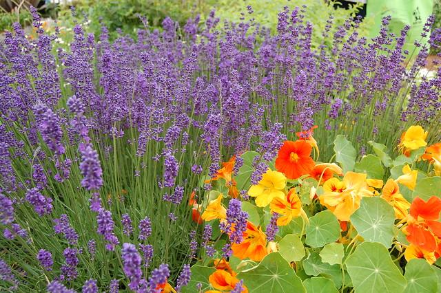 Lavender & Nasturtiums