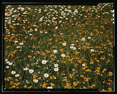[Field of daisies and orange flowers, possibly hawkweed, Vermont] (LOC)