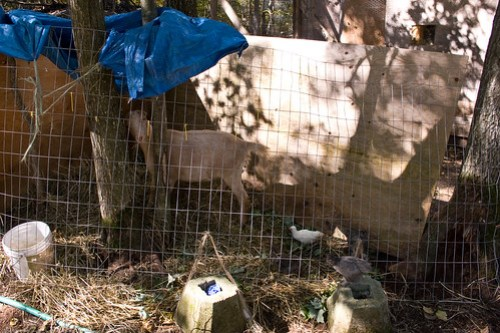 Goat Listeriosis: on the mend!