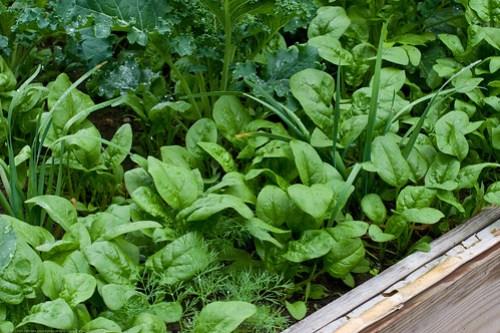 Humble Garden 2009: spinach