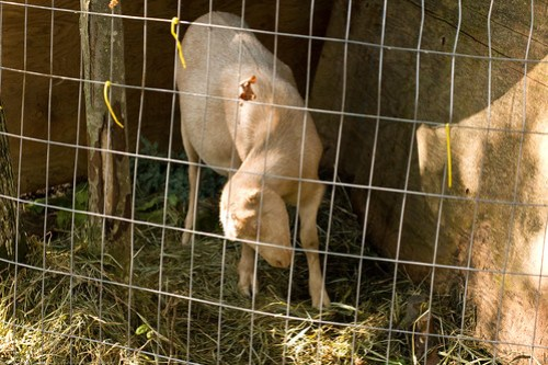 Goat Listeriosis: Felicity in throes