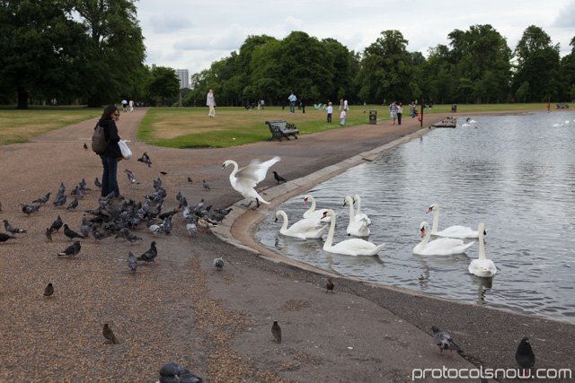 Hyde Park swans