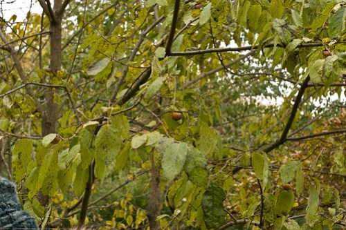 Edible Forest Gardens: american persimmon