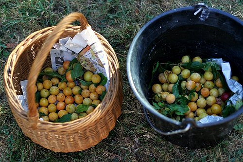 2 buckets of wild plums