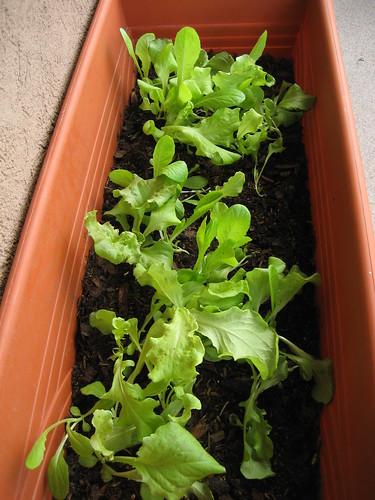 lettuce mix - june 29