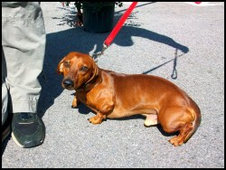 Small Of Fat Weiner Dog