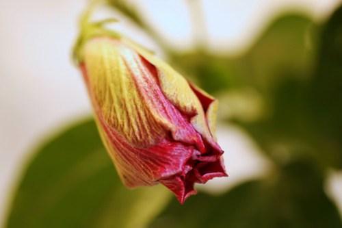 untamed heart hibiscus