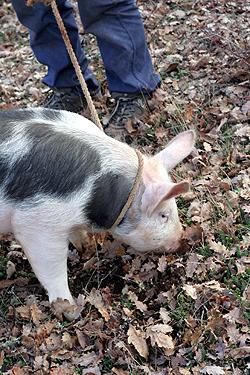 pig & truffle hunter