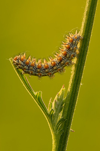 """caterpillar in V • <a style=""""font-size:0.8em;"""" href=""""http://www.flickr.com/photos/22289452@N07/8988770783/"""" target=""""_blank"""">View on Flickr</a>"""