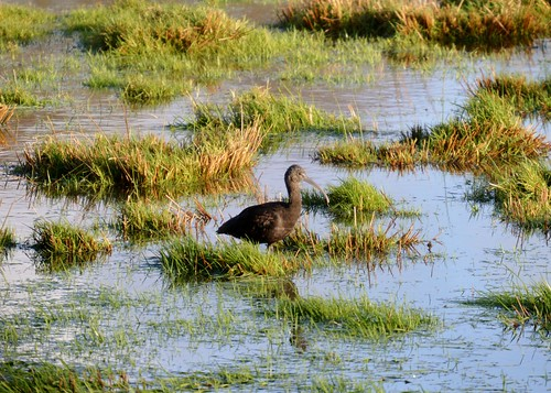 "Glossy Ibis, Tregony, 27.12.13 (R.Nicholls) • <a style=""font-size:0.8em;"" href=""http://www.flickr.com/photos/30837261@N07/11644308205/"" target=""_blank"">View on Flickr</a>"