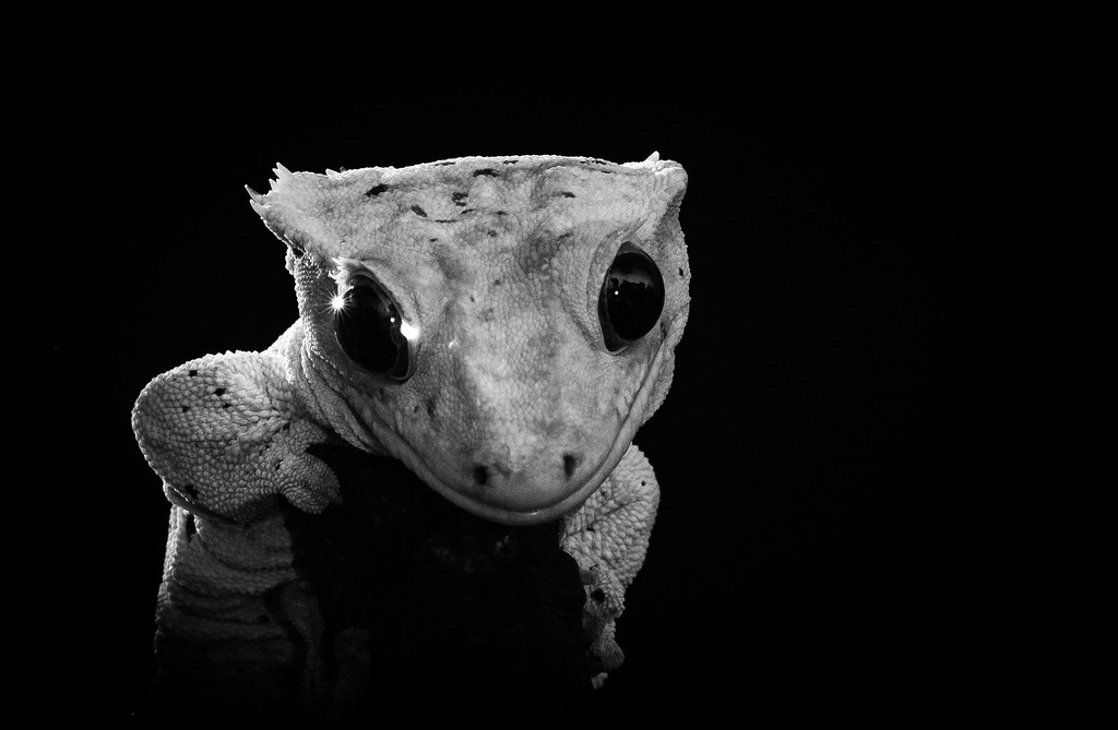 Cute Leopard Gecko Wallpaper The World S Best Photos Of Crested And Gecko Flickr Hive