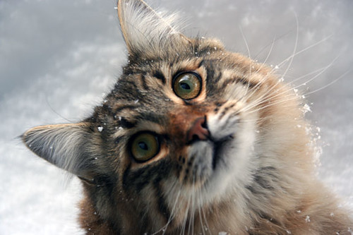 Cute Kitties Hd Wallpapers Cats In The Snow A Gallery On Flickr