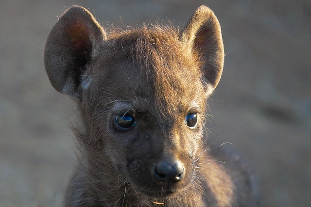 Mobile Wallpaper Cute Baby Baby Hyena Flickr Photo Sharing