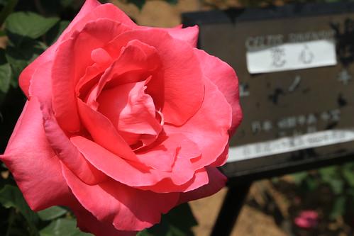与野公園 バラ祭り 2011