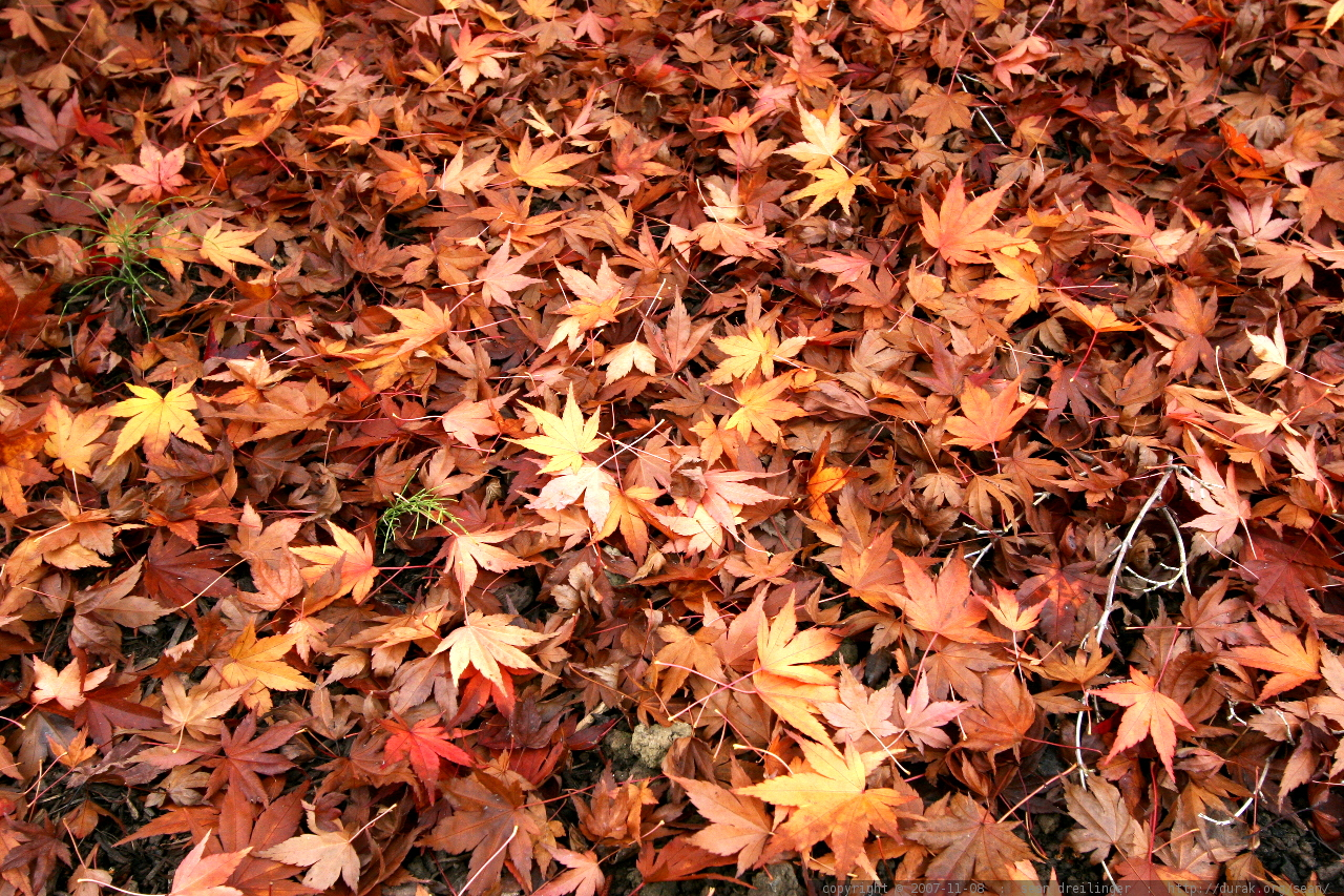 Autumn Leaf Fall Wallpaper Photo Japanese Maple Leaves Fallen On The Ground Mg 6011