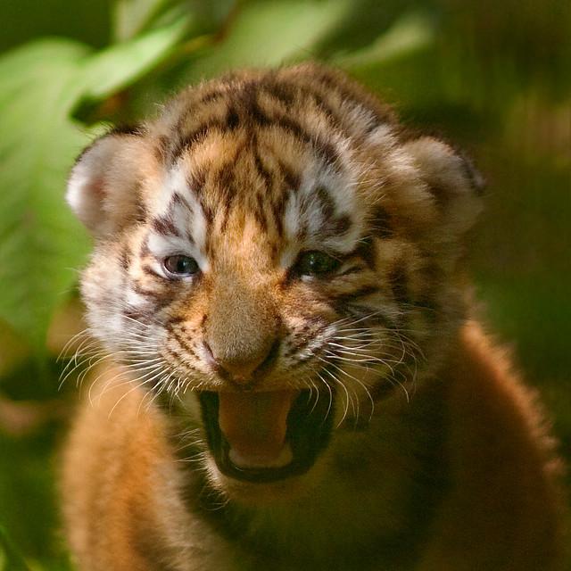 Cute Tiger Cubs Hd Wallpapers Siberian Tiger Cub A Photo On Flickriver