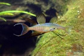 Threadfin Rainbow