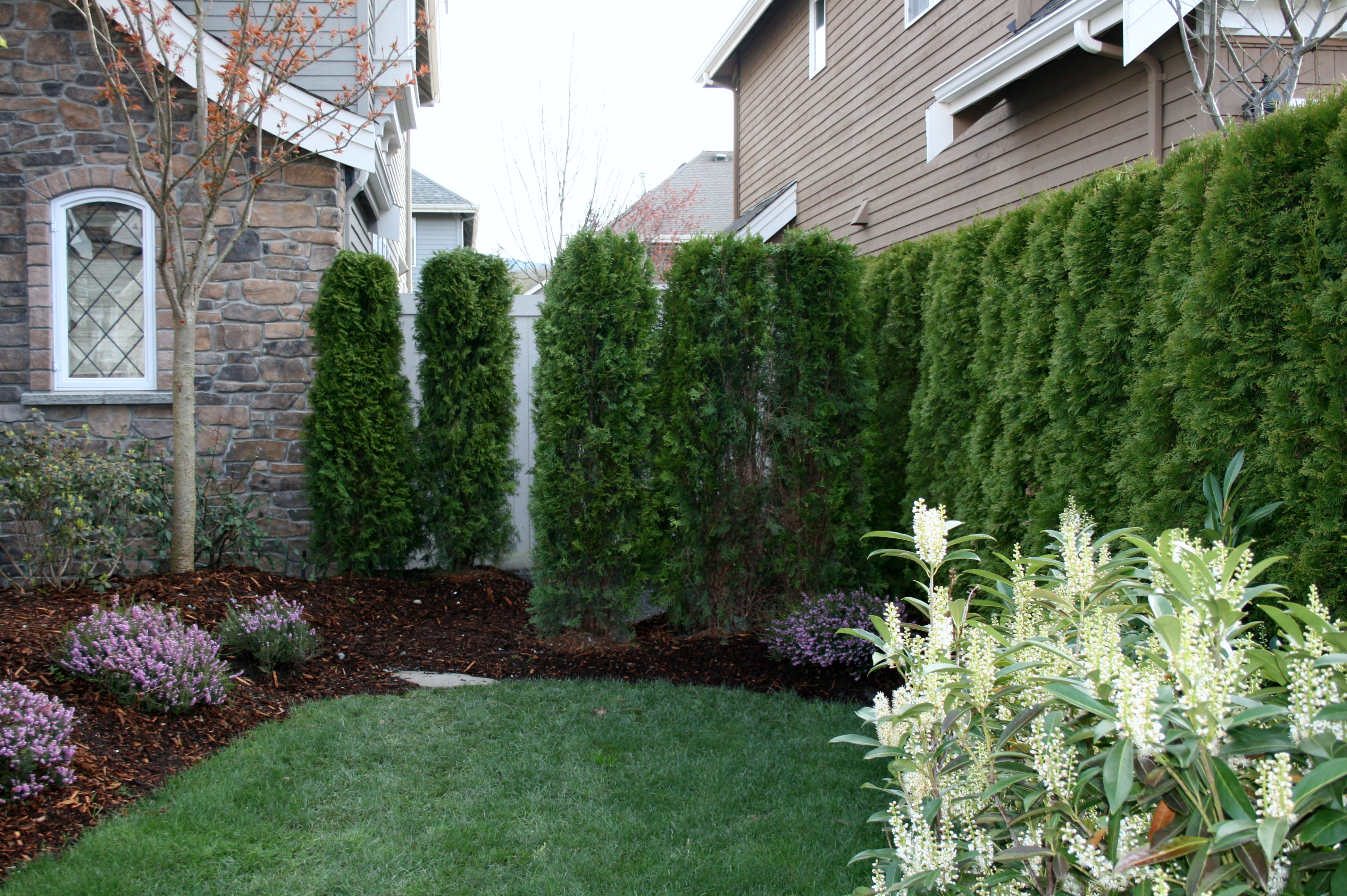 plant a front/side yard privacy hedge!