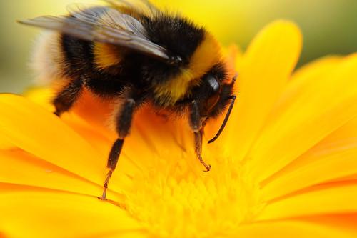 Bumblebee 3d Wallpaper Bumble Bee On Calendula Yellow Flower Close Up Feeding On