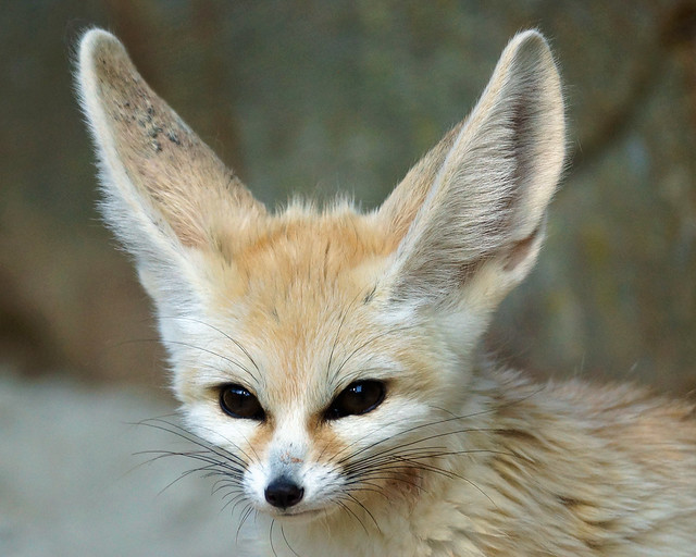 Glass Animals Wallpaper Fennec Fox Flickr Photo Sharing