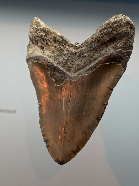 Carcharodon tooth