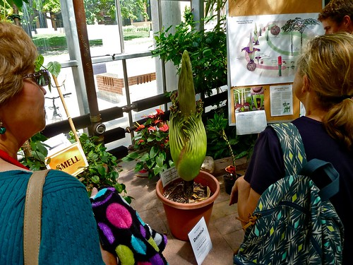 Corpse Flower At U Of M Althouse: 7/28/13 - 8/4/13