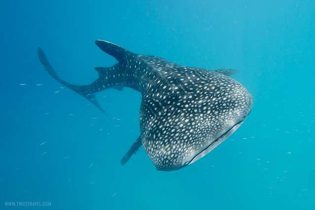 Swim with the Oslob Whale Sharks in Cebu, Philippines | Book ...